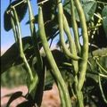 Growing Heirloom Vegetables