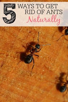 How To Get Rid Of Piss Ants Naturally