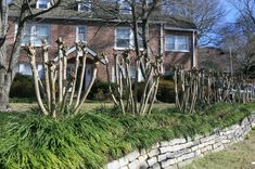 Don't Commit Crepe Murder!  :)  Article on how to prune crepe myrtles....worked for us.