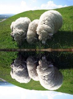 Sheep by still water.