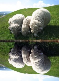 Sheep by still water.