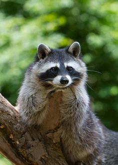 1000 images about raccoons on pinterest baby raccoon for Do raccoons eat fish