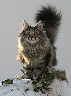Fluffy cat breeds - My Norwegian Forest cat Boots is a twin to this beauteous vision of lovliness :) - Tap the link now to see all of our cool cat collections! Pretty Cats, Beautiful Cats, Animals Beautiful, Cute Animals, Cute Cats And Kittens, Cool Cats, Kittens Cutest, White Kittens, Black Cats