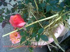 Rose paillée/ Mulched rose - Le blog de Semper Rose