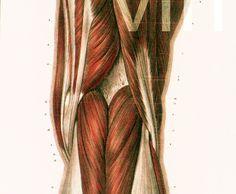 29X40cm Muscles de la cuisse, Genou, Jambe, Reproduction Planche Anatomique…