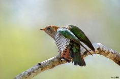 African Emerald Cuckoo Stamps