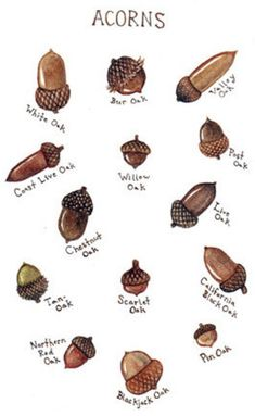 25 DIY Acorn Ideas for Easy & Inexpensive Fall Decor!It's my humble opinion that simple fall decor is the best type of fall decor, and even better if it comes from natural and organic elements-- like the 25 DIY acorn fall decor ideas below.acorn ID (image Nature Crafts, Fall Crafts, Christmas Crafts, Kids Christmas, Acorn Crafts, Pine Cone Crafts, Crafts With Acorns, Illustration Inspiration, Tree Identification