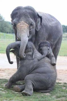 Elephant Family, so cute, animals Photo Elephant, Elephant Family, Elephant Love, Happy Elephant, Asian Elephant, Bull Elephant, Elephant Pictures, Mama Elephant, Animals And Pets
