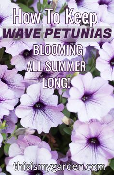How to keep those wave petunias blooming and booming. Whether grown in containers or hanging baskets, wave petunias add big color to the landscape - see how to keep them looking great all summer long! Petunia Care, Petunia Plant, Petunia Flower, Artificial Hanging Baskets, Plants For Hanging Baskets, Baskets On Wall, Petunia Tattoo, Happy Tree Friends, Strawberry Hanging Basket