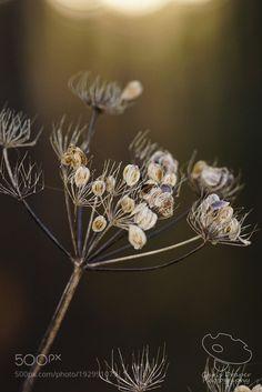 Winter Seedhead by draperchristophe