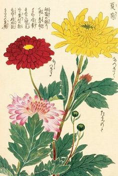 Gentil Honzo Zufu [Chrysanths] Botanical Print By Kanu0027en Iwasaki