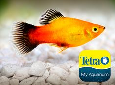 Native to Central America, so named because of the bright yellow to orange coloration on its body. Very active and easy to care for. Live bearer.  Freshwater Top/Mid Feeder Skill Level: Great beginner fish Daily Diet: Tetra® Tropical Flakes Supplement: TetraMin® Select-a-Food Treats: Tetra® BabyShrimp   For more information on fish types and diets visit www.tetra-fish.com or download the free My Aquarium App. Tetra Fish, Aquarium Set, Aquarium Maintenance, All Fish, Water Quality, Cichlids, Colorful Fish, Freshwater Fish, Betta