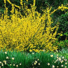 Forsythia!  These are great to clip and bring indoors for an easy, rustic arrangement.