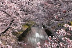 Swirl of cherry blossom branches over water. Beautiful <3