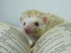 hedgehog pets - Google Search