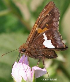 Butterfly Families | Southwest Virginia Biodiversity Catalog