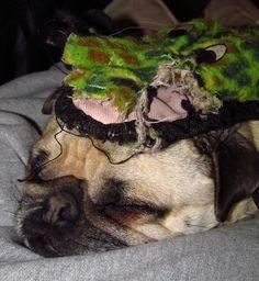 horse (weimaraner) gave pig (pug) a hat.