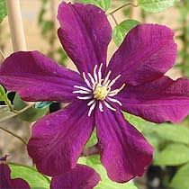 Warsaw Nike Clematis Large velvety deep red-violet flowers with contrasting anthers. Blooms in early summer then again in fall. Full sun to part shade. Grows 8-10' at maturity. Canadale Nurseries Ltd.
