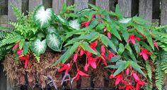 Gatsbys Gardens: Containers - The Year Of The Begonia