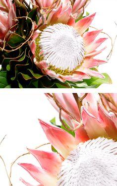 King protea Protea Art, Protea Flower, Protea Wedding, King Protea, Feature Walls, Board Art, Painted Flowers, Watercolours, Colouring