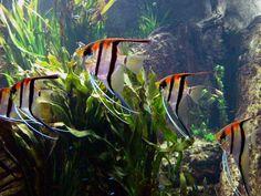 """Pterophyllum scalare sp. """"Manacapuru"""": Angelfish (""""red back"""" or """"red shoulder"""")"""