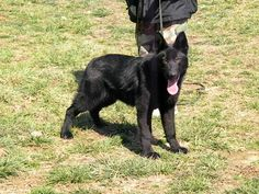 Tilly OFA - Female Working German Shepherd