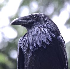 """Your daily raven...on a very wet day on the west coast.""  ~~ Wendy Davis Photography January 23, 2015"
