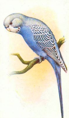 Three Free Vintage Bird Images: Budgie, Bunting, and BlueJay
