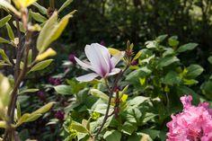 Magnolia tree in my garden. Love spring!