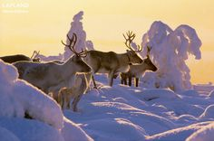 Reindeer enjoying the snowy fields in Lapland in winter Helsinki, Hygge, Polar Night, Lapland Finland, Asia, Snow Scenes, Dark Skies, Natural Wonders, Pet Birds