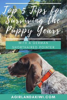Top 5 Tips to Survive the Puppy Years with a German Shorthaired Pointer - A Girl and a Kiwi #germanshorthairedpointerpuppies #germanshorthairedpointertips