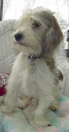Petit Basset Griffon Vendeen Information and Pictures