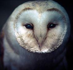 Barn owl (tyto alba) in close-up.