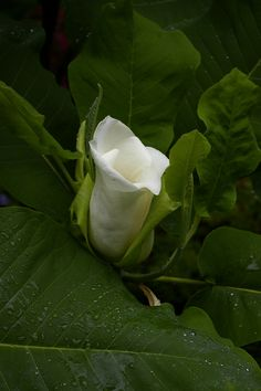 Magnolia flower opening.