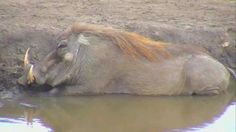 Warthog at Nkorho - May 18 2016 - 11:11am | Africam
