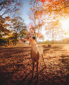 Beautiful Deer at Nara Deer Park, Japan 📸 Photo by IG: Baby Animals, Funny Animals, Cute Animals, Smiling Animals, Cute Photos, Cute Pictures, Deer Park, Destination Voyage, Animal Wallpaper