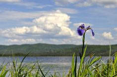 Title  Birch Lake Iris   Artist  Cathy Mahnke   Medium  Photograph - Photography