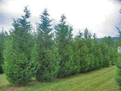 Green Giant Arborvitae is a very fast growing evergreen tree and an excellent choice if you want privacy. Here is detailed information along with some planting design tips. Garden Trees, Lawn And Garden, Trees To Plant, Fast Growing Evergreens, Fast Growing Trees, Cypress Trees, Evergreen Trees, Horticulture, Norway Spruce Tree
