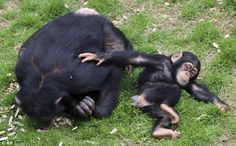 300 newly-retired NIH chimps will join more than 150 others in sanctuaries. 'Chimpanzees are very special animals. We believe they deserve special consideration,' said NIH Director Dr. Francis Collins, announcing the move.