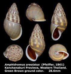 Dr. Lee's Gallery Museum: Amphidromus areolatus 28.6mm
