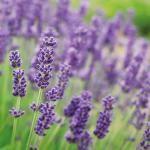 Tuindoek lavendel 1 x 1 m