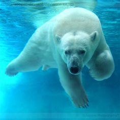 It's always fun to watch the Polar Bears swimming at Como Zoo in Saint Paul, MN