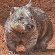 Northern Hairy-Nosed Wombat   Animal Pictures and Facts   FactZoo.com