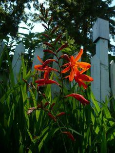Plant photo of phormium tenax rubrum new zealand flax full sun crocosmia adriana thecheapjerseys Gallery