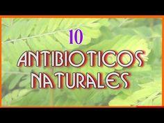Más en http://www.grancanariatv.com PLANTAS CON PROPIEDADES ANTIBIÓTICAS - Ajo ( Allium sativum). Sin duda alguna el mejor bactericida y antiviral natural. C...