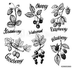 Berries sketch Blackberry Plants, Branch Drawing, Fruit Tattoo, Banner, Botanical Illustration, Tatting, Coloring Pages, Berries, Currently Working