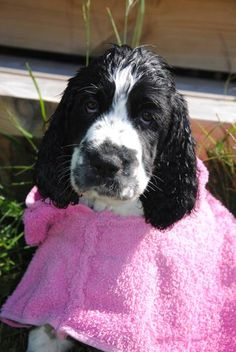 English Springer Spaniel. Looks so much like our Paisley! <3