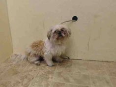 433 Best Shih Tzu Playful And Affectionate Images Pets Cute