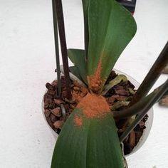 orchiddynasty
