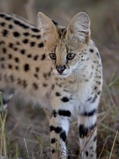 Distinctive, large eared serval via Fascinating African wild cats by James Hager - robertharding Small Wild Cats, Big Cats, Crazy Cats, Kittens Cutest, Cats And Kittens, Cute Cats, Lynx, Beautiful Cats, Animals Beautiful